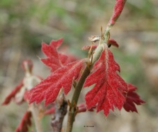 new-red-oak-leaf-copyright-rersized
