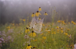 prairie-coneflower-spider-reduced-size