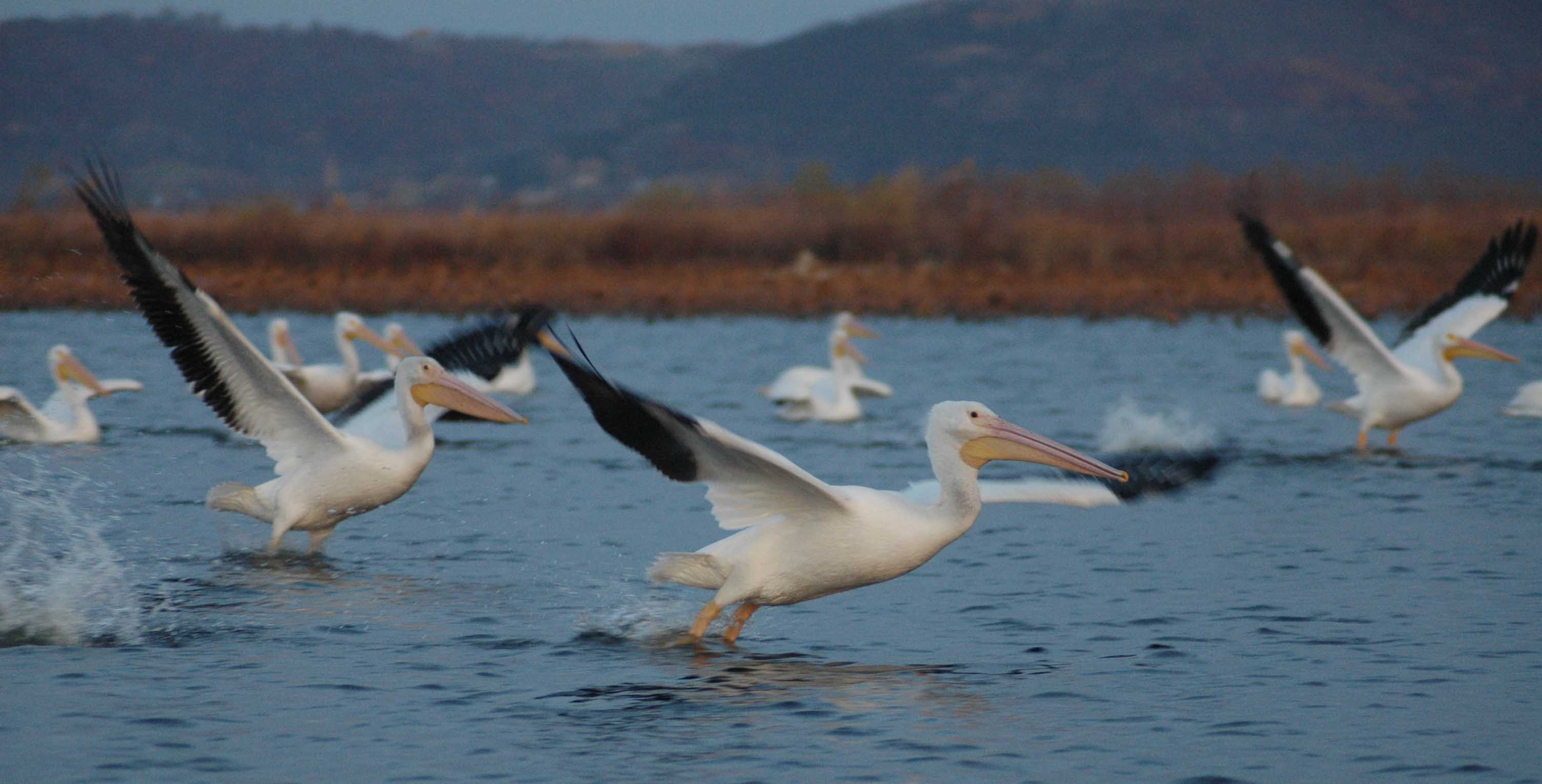 white-pelicans-long